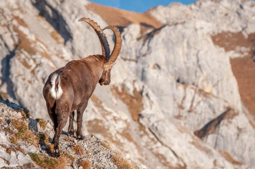 Autumn Ibex