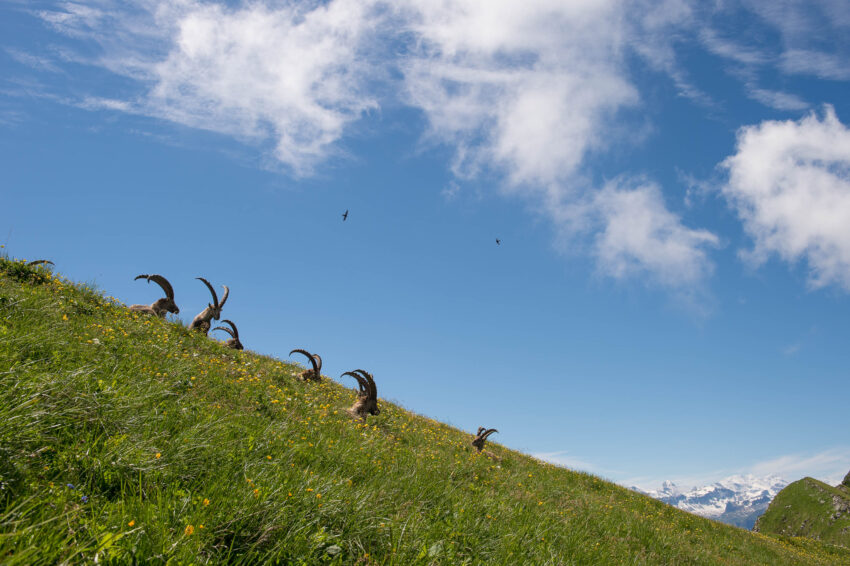 Summer Ibex