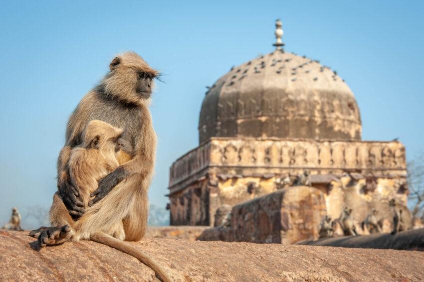 Indian Primates